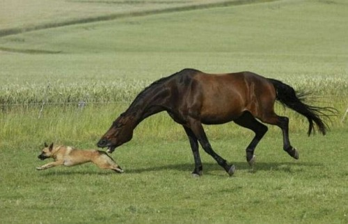 tibets:  here is a lovely horse that is about to eat a dog