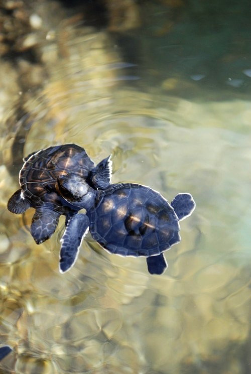 nosens:  baby turtles (by m for marvellous)