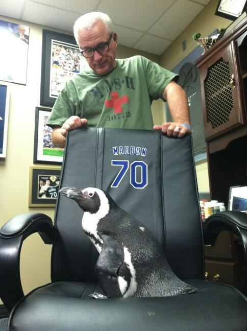"stadium-love-:  nationalpostsports:  This is a REAL LIVE PENGUIN on an office chair belonging to Tampa Bay manager Joe Maddon. ""I checked with Elias. Cliff is the first penguin ever to sit in the chair of a @MLB manager. #MaddonsMenagerie,"" Rays director of communications Dave Haller tweeted. Office penguin. The best kind of penguin. (h/t Deadspin)  Or it could just be one of those convoluted baseball stats that only happens the first month of the season in the AL East to a team with a combined batting average below .238 and less than 14 stolen bases on exactly 27 attempts."