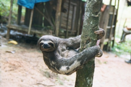 ISFP: Sloth Peaceful and easygoing, ISFPs take things at their own pace and live moment to moment. They are considerate, pleasant, caring, and mellow. Their values are important to them, but they are not ones who particularly care about defending or debating their views publicly. Don't call them lazy — maybe they are just more relaxed than the rest of us. What's Your Animal Personality Type? This = me. Thanks alexdarke