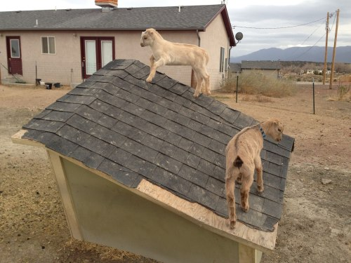 "Baby Goats Start Roofing Company Mikey and Chuck, two dairy goats from Colorado, have always been handy, and often did odd jobs for neighbors and friends. ""I told those kids that they're too talented to be giving their work away for free,"" says Ted Cousins, who lives down the road from the goats. ""They should go into business."" And so they did. Gruff Bros. Roofing and Gutters was officially incorporated in March, and the goats have been booked solid ever since. ""They replaced a few shingles for me, and word got around pretty fast that they do quality work,"" says Chelsea Stonebridge, a satisfied customer. ""Plus, they get paid in hay and sunflower seeds. It's a great deal."" Via Engebretsen Dairy Goats."