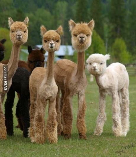 9gag:  Shaved Alpacas are the most terrifying thing I've ever seen   Ola ke ase.