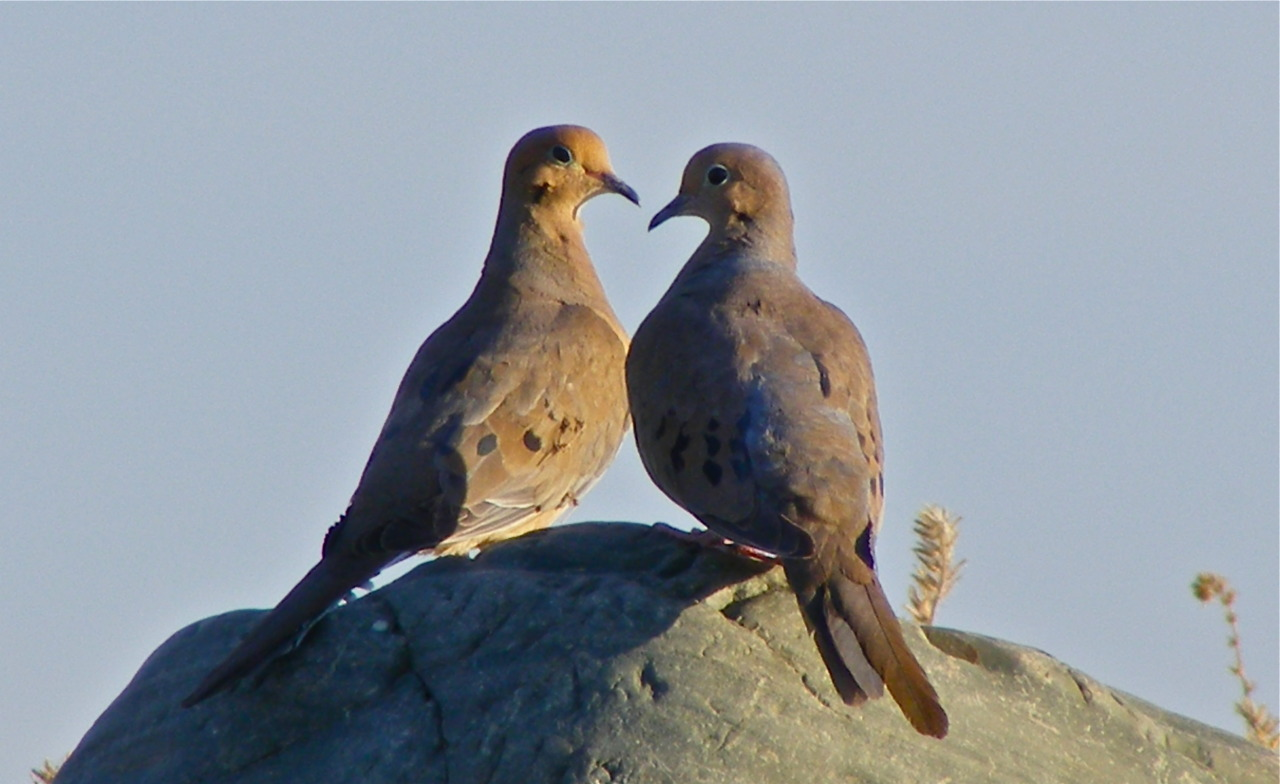 Mourning Doves Reach 11 Phoenix, AZ