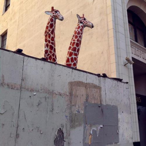 kullect:                                         Giraffes in Los Angeles