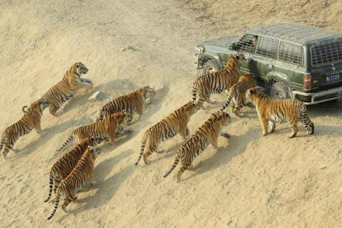 BEWARE THE TIGER SWARM! Siberian tigers approach a keeper's car as they wait to be fed at the Siberian Tiger Forest Park in Harbin, China, on December 27, 2011. More than 800 Siberian tigers are currently living in the park, which is also a breeding center for this endangered species, according to a local report. Over the past decade, more than 1,000 critically endangered tigers have been killed for their furs and skins. A century ago, more than 100,000 tigers existed in the wild. Today, that number is estimated to be 3,500. The big cats occupy less than seven percent of their original range. (via: TakePart.org)                     (photo: Sheng Li/Reuters)