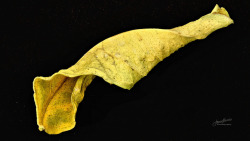 Lemon Leaf - Macro Mondays: Dried on Flickr.