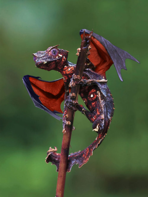 visualcocaine:  Satanic Leaf Tailed Gecko with added wings via reddit