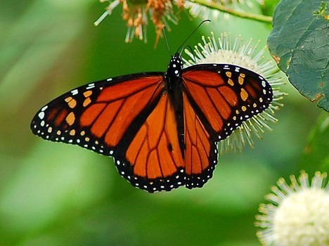 Monarch butterfly migration drops to twenty year low   http://www.examiner.com/article/monarch-butterfly-migration-drops-to-twenty-year-low (via Monarch butterfly migration drops to twenty year low - Cleveland science news | Examiner.com)