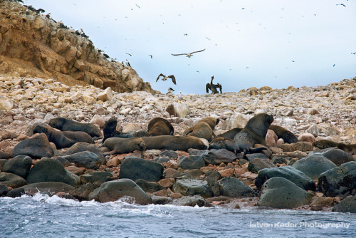 marinemammalblog:  Sea Lions in Islas Ballestas by fesign on Flickr.