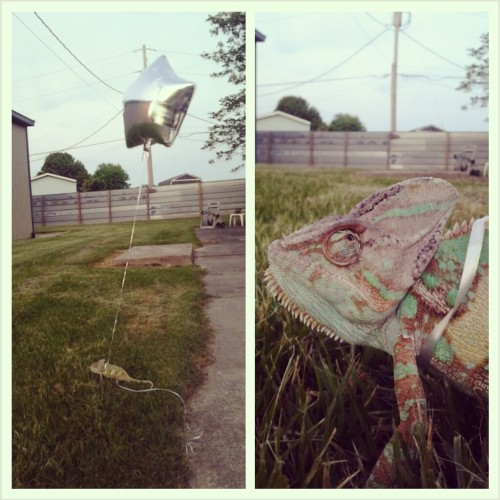 impenetrablefog:  I tied a balloon to my chameleon so I don't lose my balloon or my chameleon.