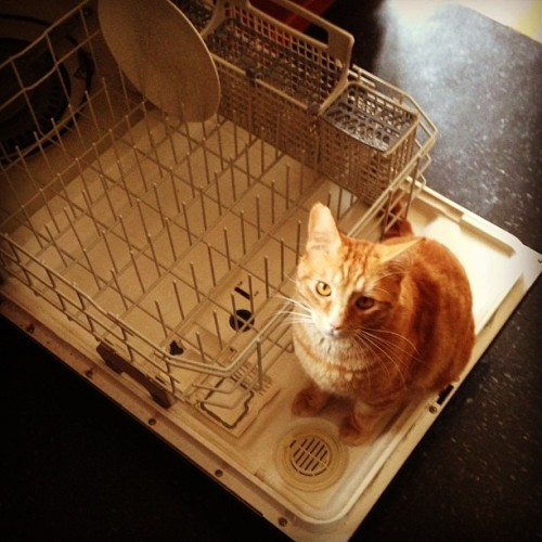 "everylittlenookandcranny:  Maximus ""helps"" load the dishwasher."