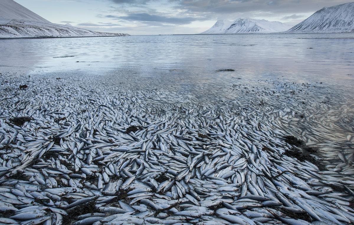 waterspirit:  10,000 tonnes of dead herring wash up in a fjord in iceland less than two months after the 30,000 tonnes from last december