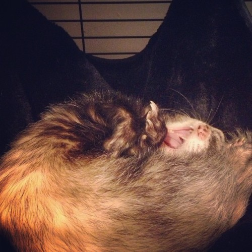 Mouth breather. #instaferret #ferret #ferrets #taco #zoidberg #petstagram #freetibet  (at Planet Express)