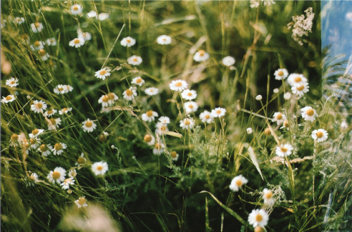 Wild daisies  Film, expired 2007 - Pentax MV