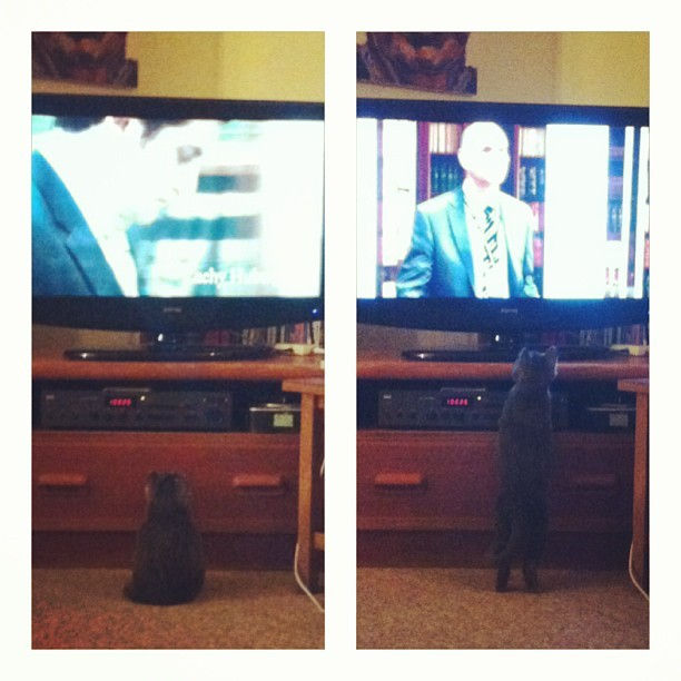 TV junkie… #evie #kitten #catslovetheABC