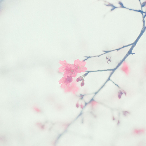 floralls:  Sakura (by BERT DESIGN)