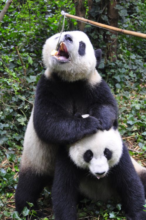 "pandaspandas:  ""I get the food!"" hoben022002"
