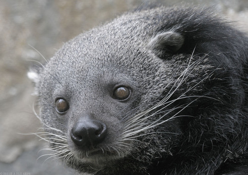 littleladycatastrophe:  Binturong at Edinburgh Zoo by Alan Hill on Flickr