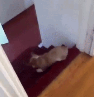 Awesome Corgi Rolls Down the Stairs on Purpose [Click to animate] There's nothing adorable about insurance fraud.