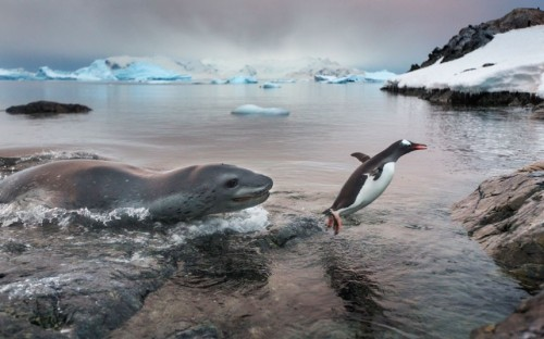 creepicrawlies:  A leopard seal chases a Gentoo penguin onto the beach on Cuverville Island, Antarctica. The predatory seal struck with ferocious speed but the penguin flapped across the shoreline, with the hungry seal in hot pursuit… Picture: Paul Souders / Barcroft Media