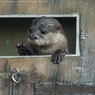 dailyotter:  Otter Would Like a Friend to Share Her Fort With Via Das Otterhaus