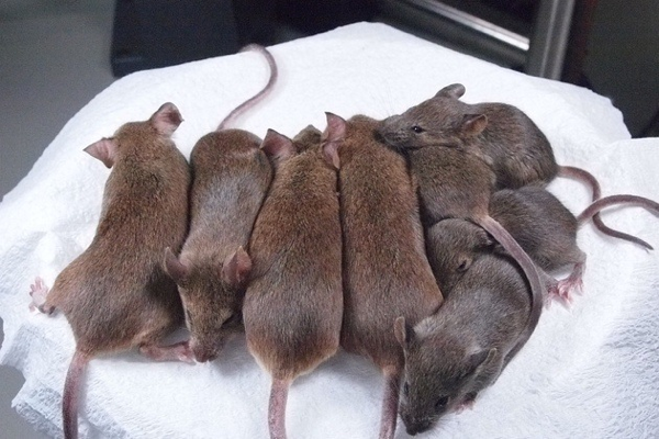 "Scientists Have Perfected Mouse Re-Cloning to the 25th Generation Remember Dolly the Sheep? Having started her life in a test tube in 1996, she was the first animal cloned by scientists using a somatic cell (as distinct, say from a germline cell, or ""gamete,"" like sperm and eggs). Dolly was beautiful. She was Scottish. Her mere existence was profound. It was also unusually short, at just six years. But scientists in Japan announced yesterday they have succeeded in cloning mice using the same technique that created Dolly with more or less perfect results: The mice are healthy, they live just as long as regular mice, and they've been flawlessly cloned and recloned from the same source to the 25th generation. CONTINUE - by Austin Considine"