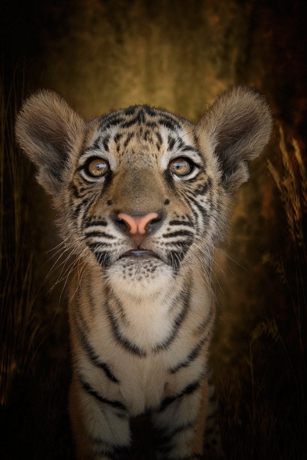animalkingd0m:  Tiger Tiger Burning Bright by Cathy Taylor