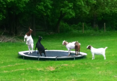 holdnoquarter:  Today I came across goats playing on a trampoline while I was driving around and it was the happiest thing I've ever seen.   My only regret about this picture is it's not a gif