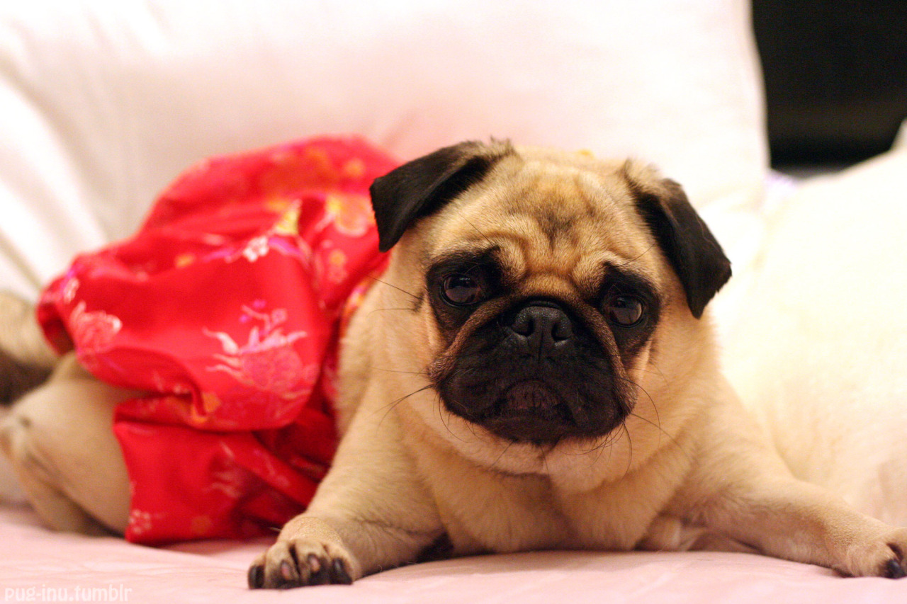"pug-inu:  ""Gong hei fat choi!"" or ""Gong xi fa cai!"" from a pissed off multi-dialect pug. Happy Chinese New Year! (click on each photo to view how Inu feels about it all)"