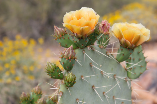 bignature:  Prickly pear cactus in bloom, McDowell Sonoran Preserve.