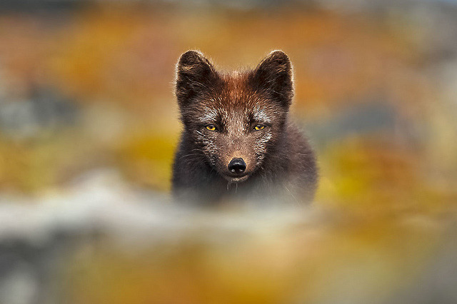 theanimalblog:  Arctic Fox. Photo by Gudman