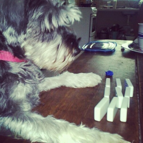 Jugando domino en familia despues del recalentado #domino #schnauzer #dog #family #pet #aqua #christmas
