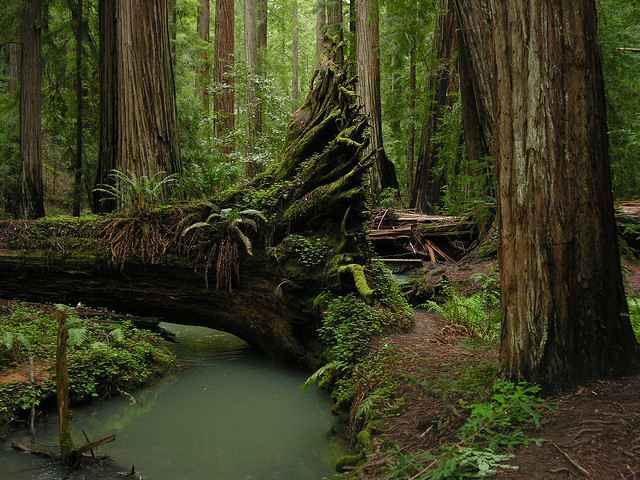 brutalgeneration:  Fallen redwood (by Aindrila)