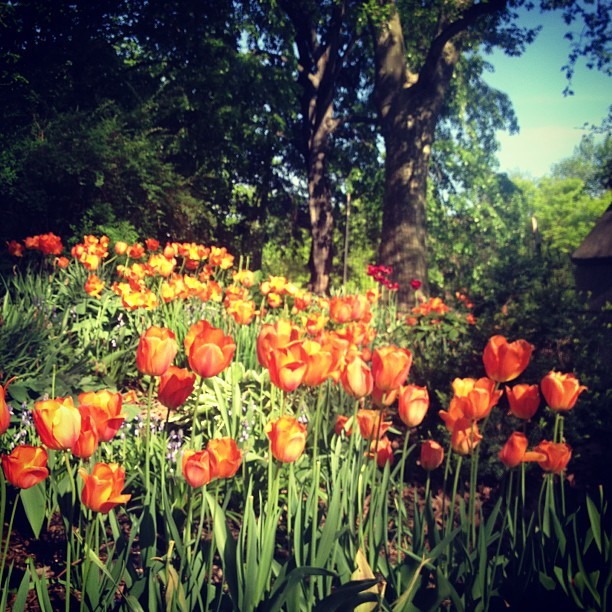 gretchenjonesnyc:  Fort Greene fever (at Fort Greene Park)  poppies