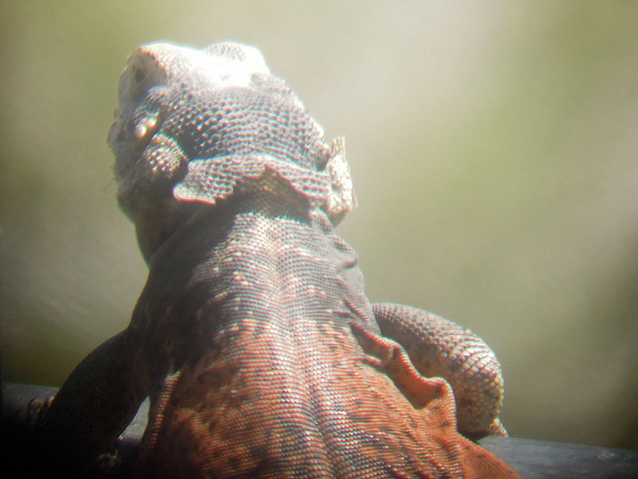 dragon = chuckwalla  ||  backyard  ||  5. 4. 2013
