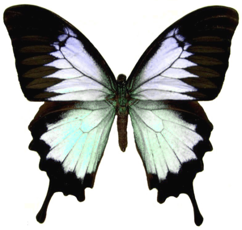 transparent-alice:  semi-transparent butterfly