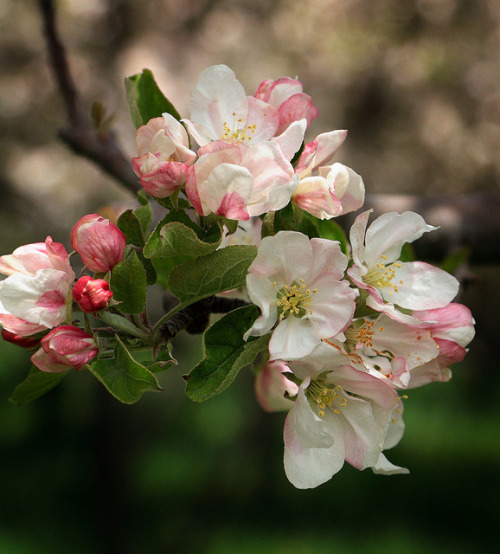 champagnelotus:  Apple Blossoms by Lee Ann L. on Flickr.