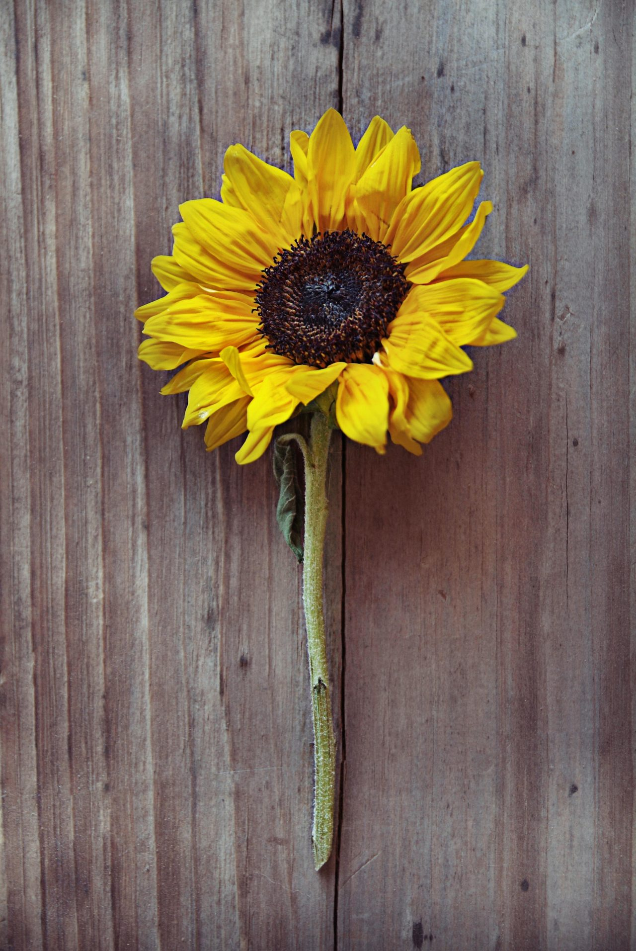 sunflower: by Ian Norris