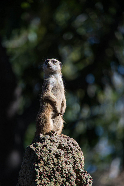 "typewriterchan:  sdzoo:  Meerkat by Solvent.Solution - Meerkats take turns acting as guard so the others can look for food without worries. The guard climbs to the highest rock, termite mound, or bush and announces the beginning of guard duty with a specialized call. A low, constant peeping, known as the watchman's song, is made when all is well.  Cynwise.  INC FARM Y U FIGHTING ON ROAD?  ""A low, constant peeping, known as the watchman's song, is made when all is well."" /bg ST how you doing /bg LM is okay /bg FM how you doing /bg FM you have an inc /bg FM stay near flag, you have 2 inc from BS /bg GM how you doing /bg LM 2 inc /bg Lumber Mill Safe /bg ST how you doing /bg GM I hear you have a party going on over there"
