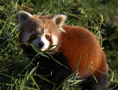 thefluffingtonpost:  PHOTO OP: Red Panda in the Grass Via j.e.mcgowan.