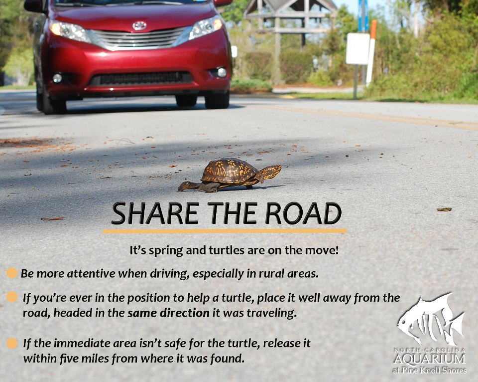 rhamphotheca:  Keep an eye out for turtles!!! (via: North Carolina Aquarium at Pine Knoll Shores) * pictured is Eastern Box Turtle (T. carolina)
