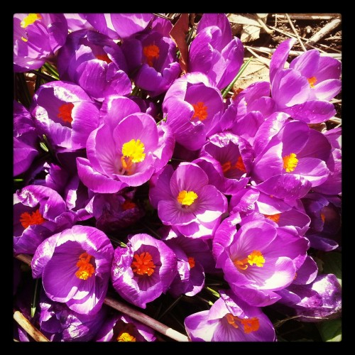 Seen around town: A cluster of crocuses along the sidewalk this morning. Spring is on its way.
