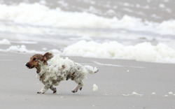 Dachshund Pablo at the beach. Photo by J. Bussink Please don't remove source. Thank you :)