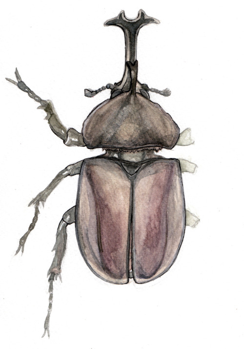 "hartleart:  ~ [Bug - a - Day] ~ 19 - 1/13/13 - Allomyrina dichotoma- ""Kabutomushi"" - Watercolor & Ink (Sketch - http://hartleart.tumblr.com/post/39995843642/i-recently-decided-i-was-going-to-draw-a-bug-every) My first attempt at seriously doing watercolor in this particular sketchbook…It's been rather frustrating because I typically use 300lb hot press paper when I do my watercolor pieces.  This didn't turn out too terribly but the paper did pull up and get pulpy because of the water, though this is a watercolor sketchbook.  Frustrating, but I'm just going to have to change my technique a bit.  I might transfer some of these onto my usual paper because I am more comfortable with it, and it's smooth so doesn't pull up with my strokes. But I rather like the pencil & watercolor style, and I think tracing it would just not be the same, so for now, here's this attempt.  I may even try this piece again transferred, but I need a break. Sorry for the text block."