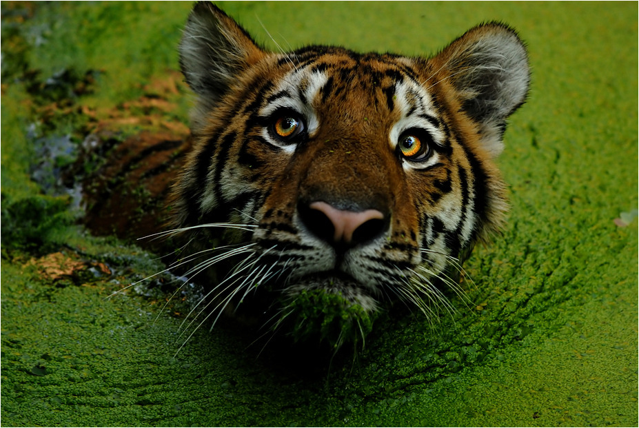 earthlynation:  Swamp Tiger by x-crossroad  So cute