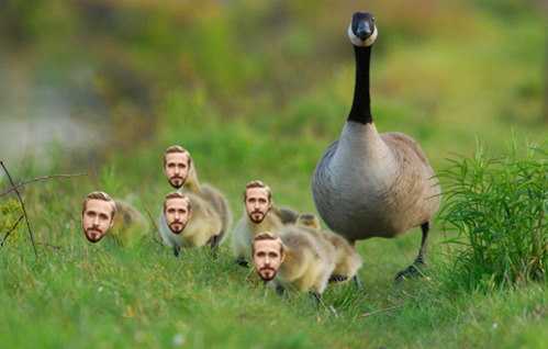 tastefullyoffensive:  A mother goose and her goslings.[via]