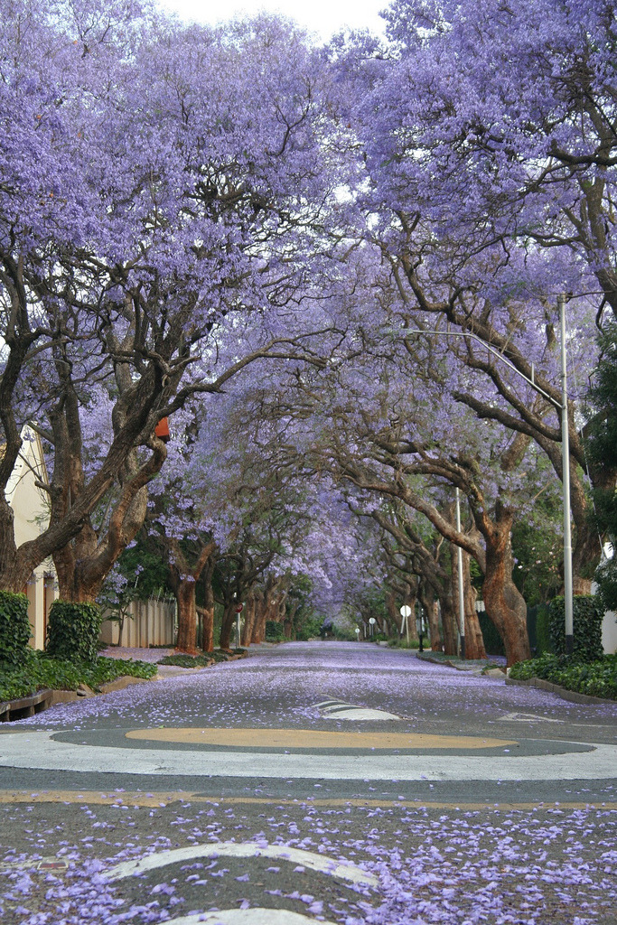 ethereo:  Jacaranda intersection 2 (by Ryan Paul James)