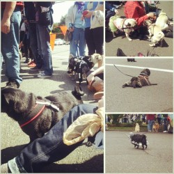 So many #pugs! #oregonhumanesociety #pugcrawl2013 #pugsofinstagram #blackpugs #fawnpugs #brindlepugs #pugsfordays