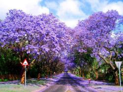 Jacarandas Trees on the Road in Sydney, Australia on We Heart It - http://weheartit.com/entry/54506097/via/monalisagosdovich
