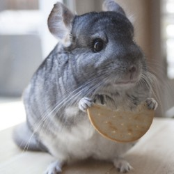 #mycookie #chinchilla #chinzilla #stickshift #solardishears #tinypaws #thatface #chinchillagram #chinchillasofinstagram #sofluffyImgoingtodie #photography #mrevelo